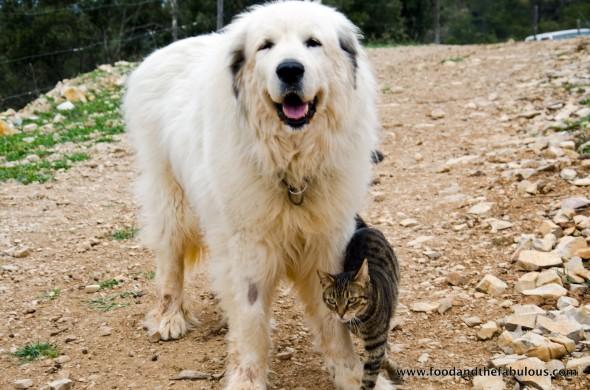 farm cat, Provence
