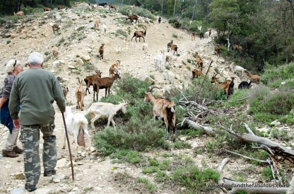 walking goats Provence