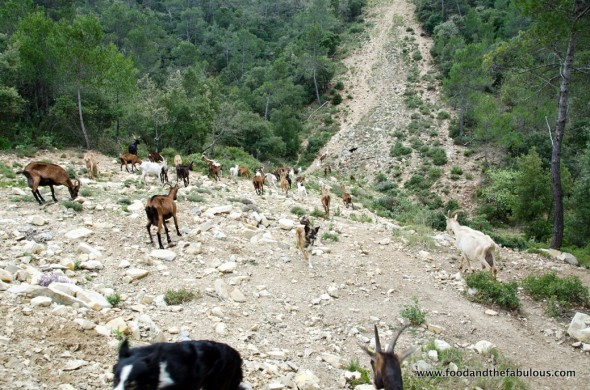 goats will roam