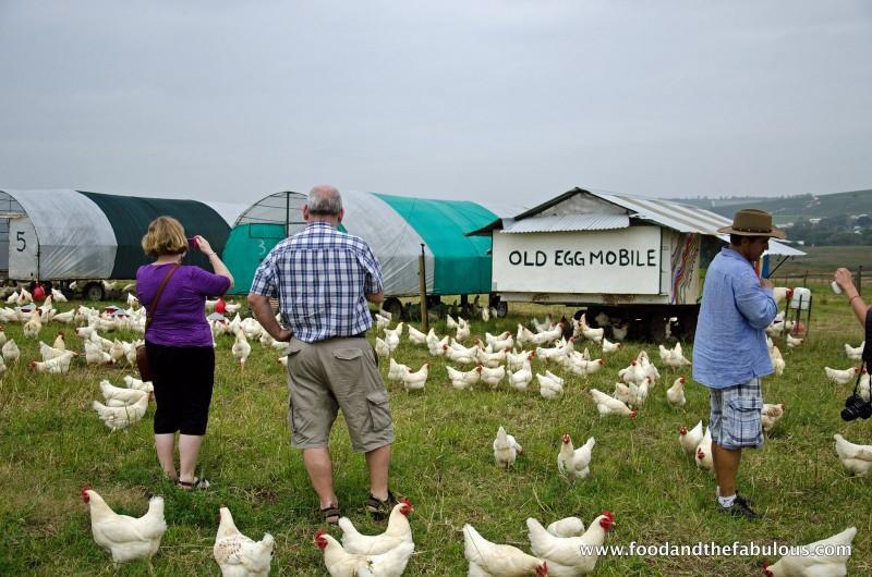 farmer angus chickens