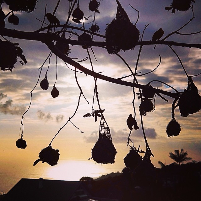 Weaver birds and sunset. Les Aviron