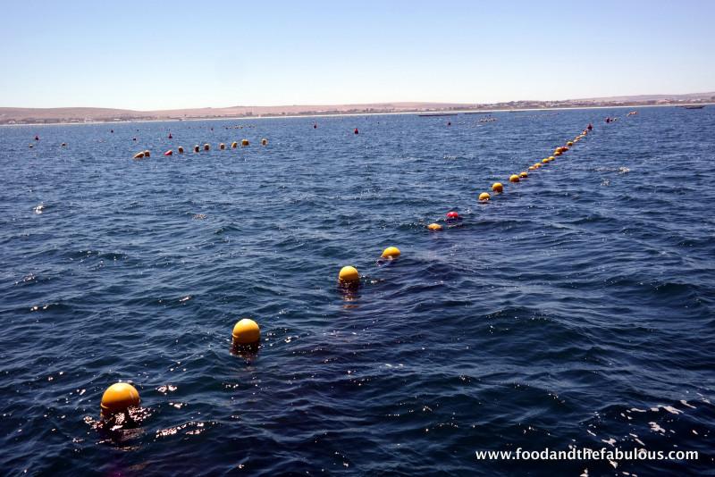 oyster farming Saldanha Bay