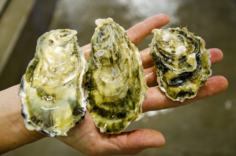 oysters grow at different rate